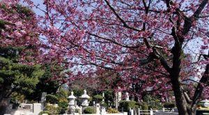 水汲み場付近にある彼岸桜