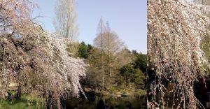 枝垂れ桜は、ほぼ満開